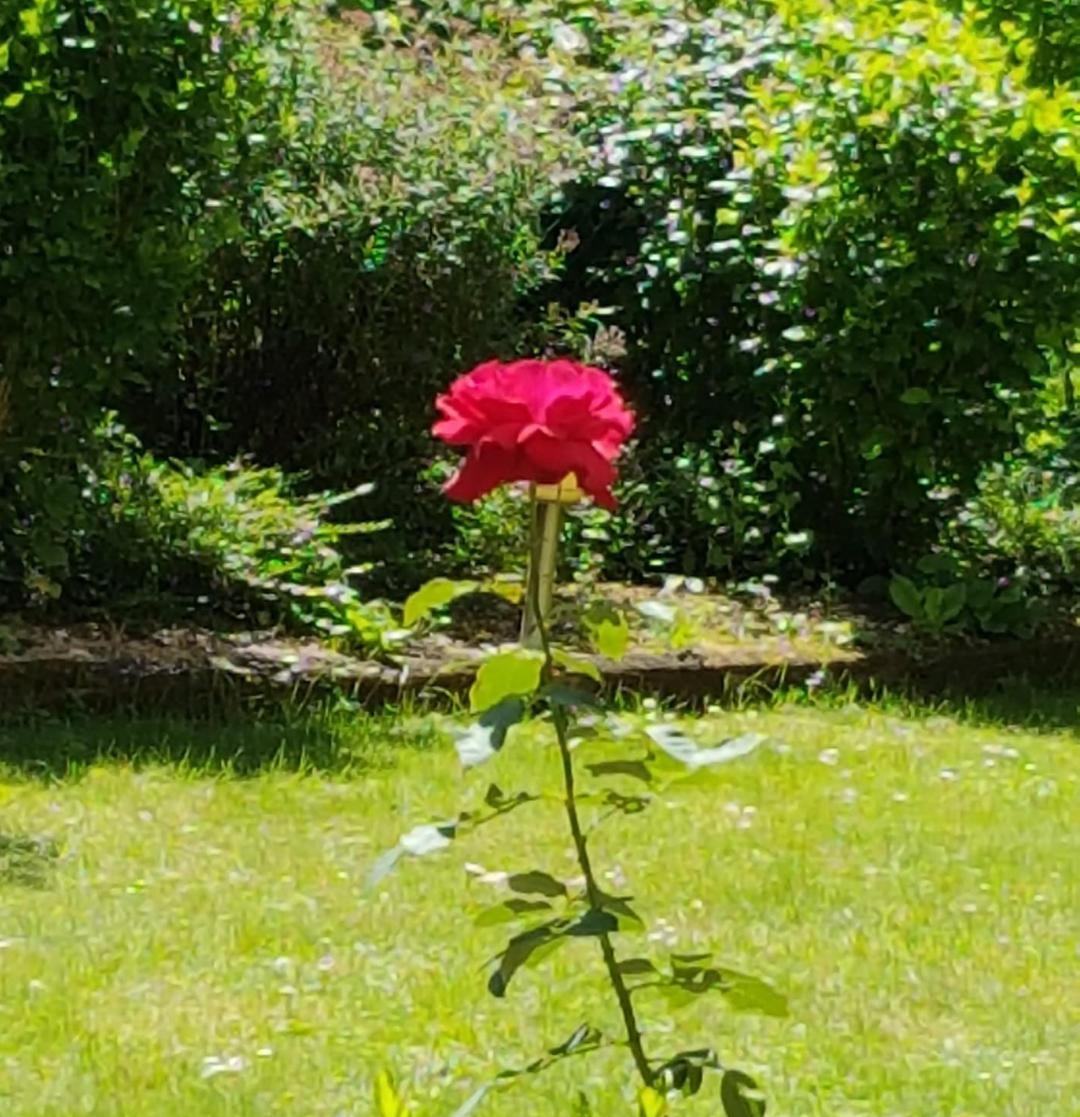 roza ogrod Basi